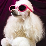 white poodle with pink sunglasses on